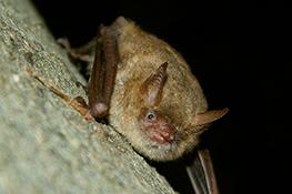 Pipistrelli in chiesa a Casalborgone